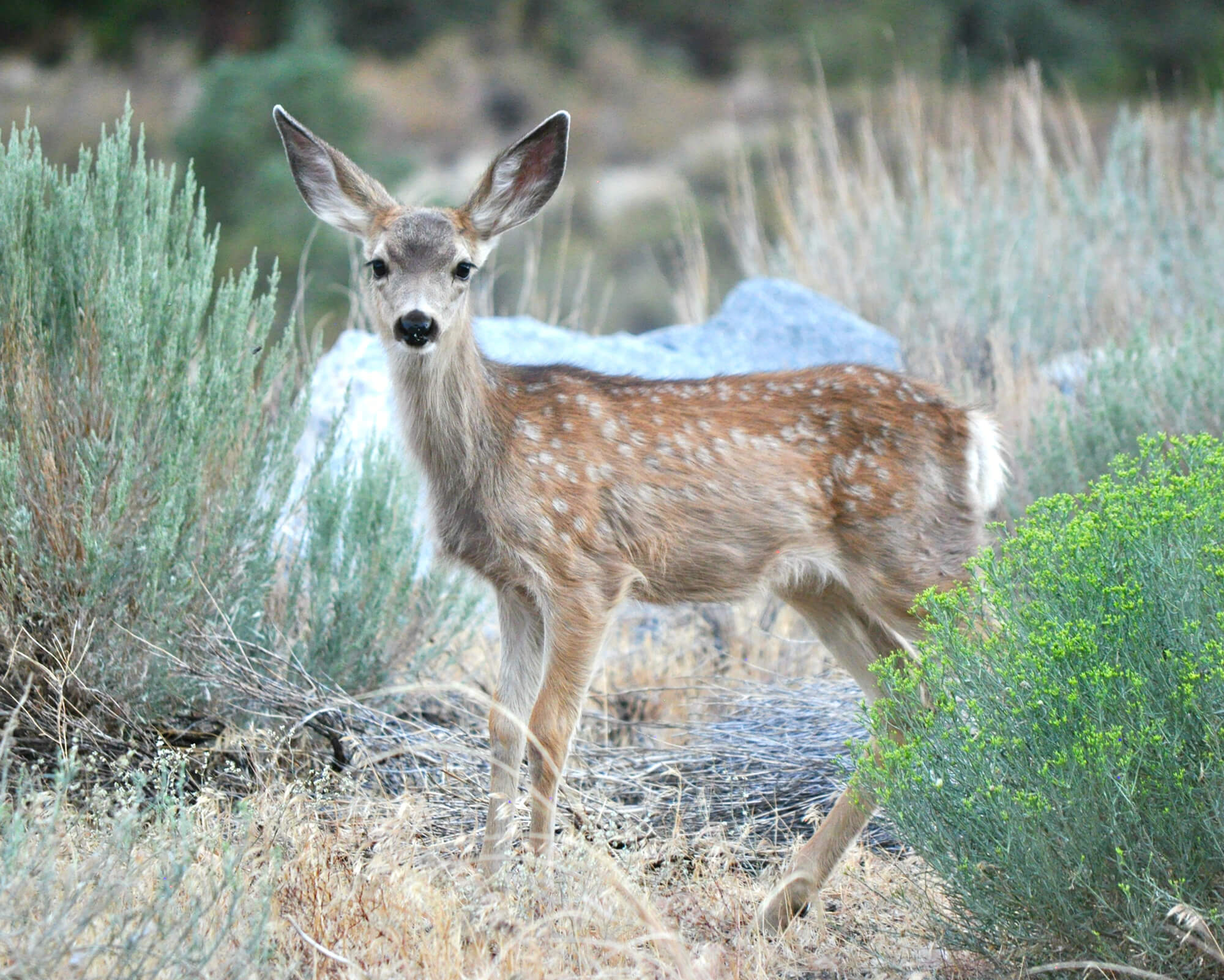 Bishop Creek Deer